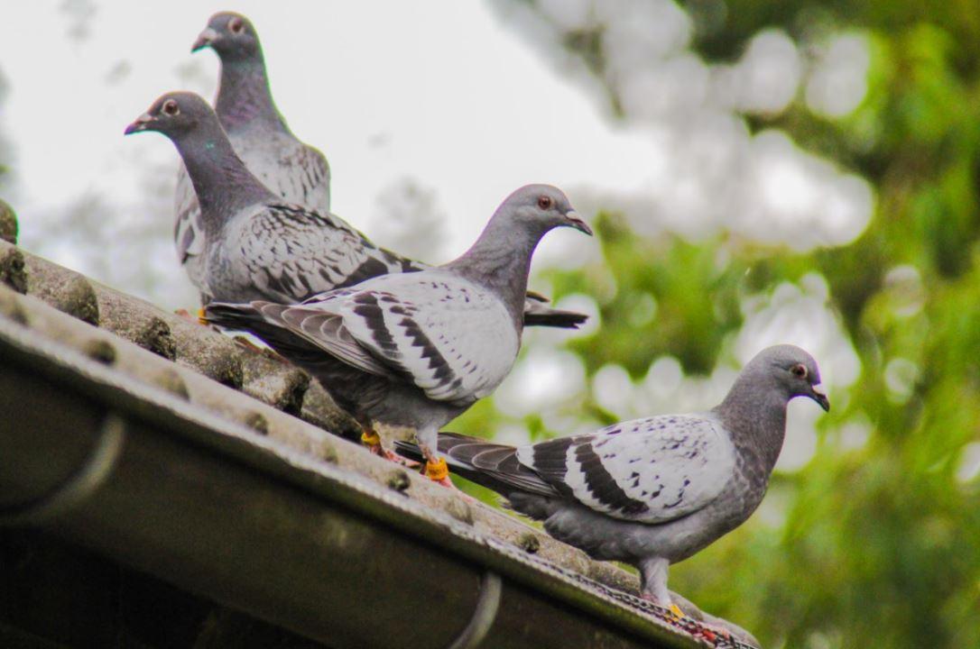 Tauben-auf-dem-Dach